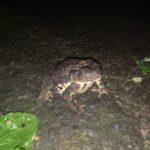 ごっとんべえ(デッカイ蛙):キャンプ場で出会う生き物