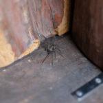 アシダカグモ:キャンプ場で出会う生き物