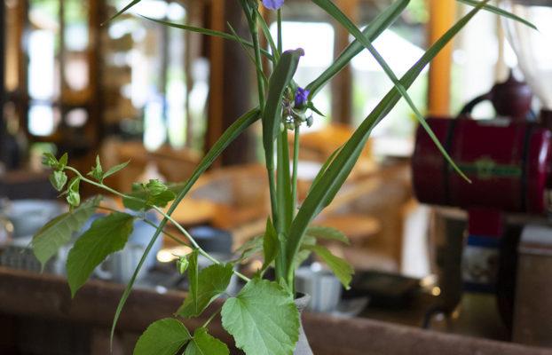 オオツユクサ等:ほうれん坊でお出迎えする花